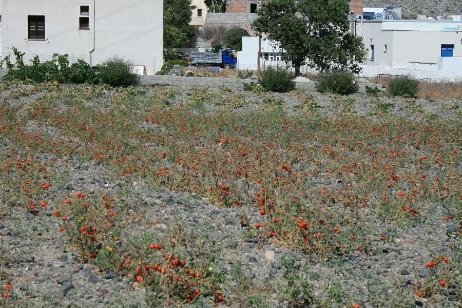 Tomaten wachsen auch ohne Wasser...