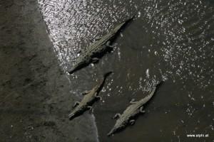 Krokodile im Fluss