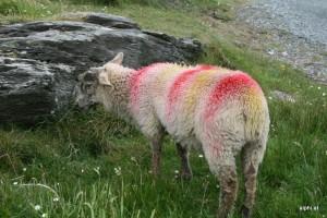 Buntes Schaf